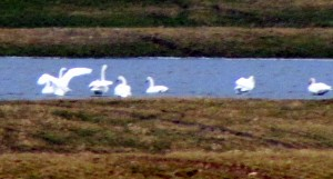 Tundra Swans at Sunnybook Farm